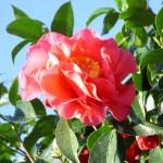 Gartenreise Spanien Kamelienzauber in Galicien